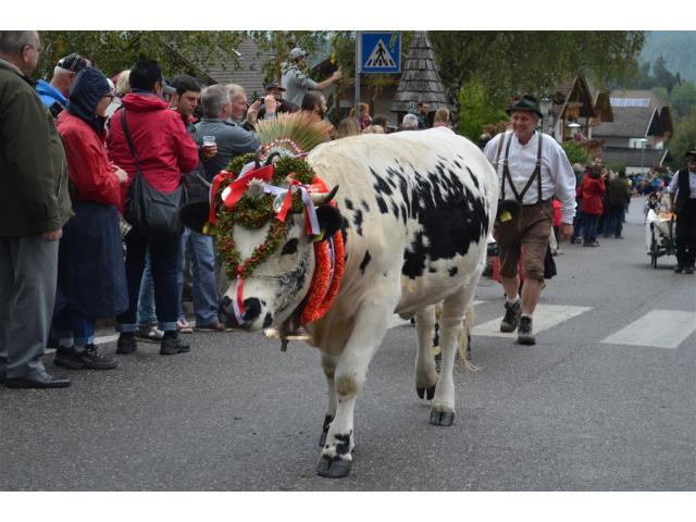 Homecoming of livestock in Stefansdorf