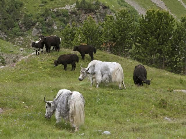 Driving of Yaks up to pastures